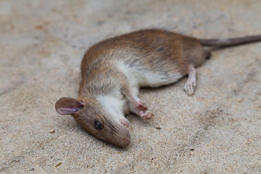 ¿Cómo deshacerse de la rata marrón de una vez por todas?
