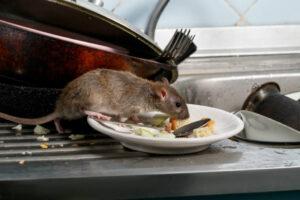 Acabar con la rata marrón definitivamente
