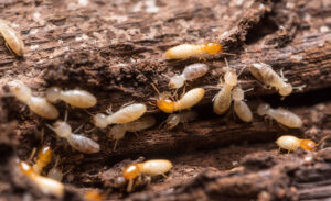 Trampas para termitas